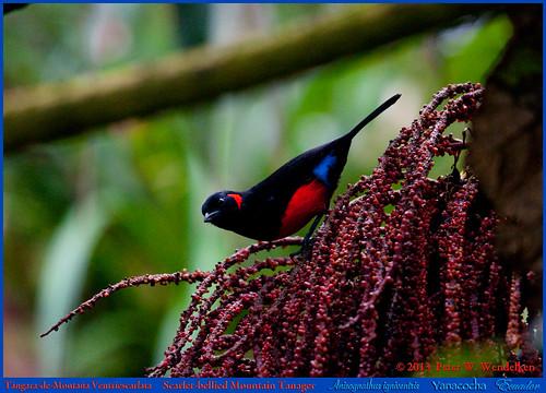 ecuador tanager pichincha thraupidae anisognathus mountaintanager yanacocha ecuadorbirds southamericanbirds neotropicalbirds anisognathusigniventris scarletbelliedmountaintanager mygearandme peterwendelken ecuadorphoto oldnonomiindoroad viejocaminoanono ecuadortanagers southamericantanagers tanagerphotobypeterwendelken tángaramontaña scarletbelliedmountaintanagerphoto scarletbelliedmountaintanagerinyanacocha scarletbelliedmountaintanagerinecuador scarletbelliedmountaintanagereatingfruit tángarademontañaventriescarlata yanacochatanagers