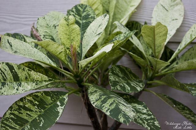 variegatedplumeria