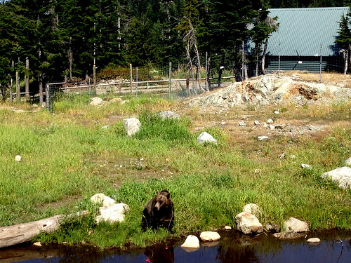 Canadian Bear.