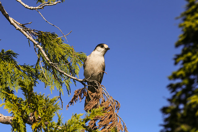 Whiskey Jack (Gray Jay)