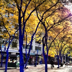 #bluetrees #westlake #seattleautumn #kindofblue