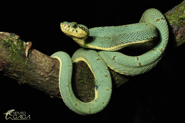 Venomous snakes from tropical America - a gallery on Flickr