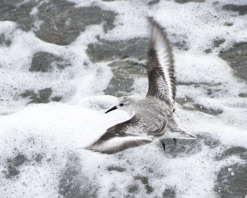 Sanderlings in the Surf at Alki Beach