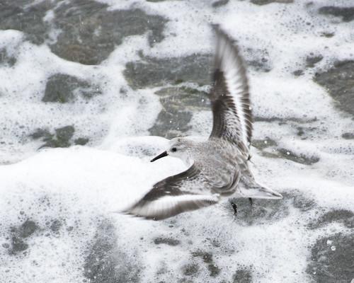 Sanderlings in the Surf at Alki Beach