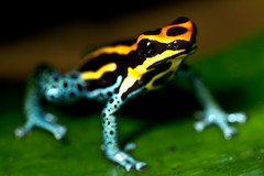 european fire salamander(0.0), salamandra(0.0), salamandridae(0.0), animal(1.0), amphibian(1.0), frog(1.0), macro photography(1.0), green(1.0), fauna(1.0), close-up(1.0), wildlife(1.0),