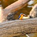 Madagascar Malachite Kingfisher (Stephen Woodham)