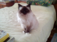 tonkinese(0.0), whiskers(0.0), domestic short-haired cat(0.0), animal(1.0), siamese(1.0), small to medium-sized cats(1.0), pet(1.0), mammal(1.0), snowshoe(1.0), cat(1.0), balinese(1.0), birman(1.0),