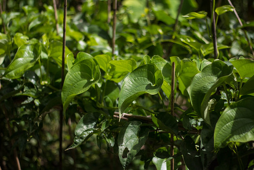 Yam plants