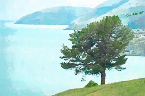 blue newzealand tree green grass island harbour canterbury diamond hills nz fir southisland bankspeninsula quail