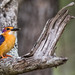 African Pygmy Kingfisher by Willievs