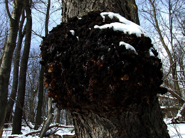 black cherry burl 1