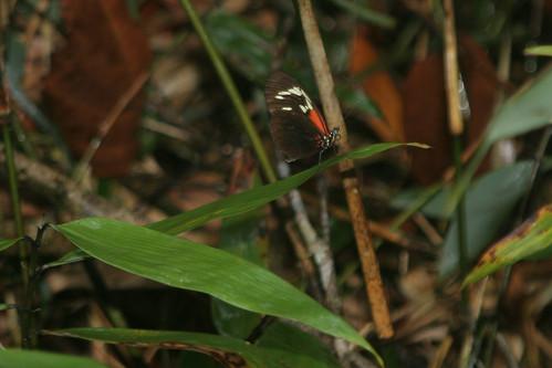 erato suriname tafelberg nymphalidae heliconiinae heliconius