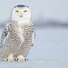 Snowy Owl by r.gelly