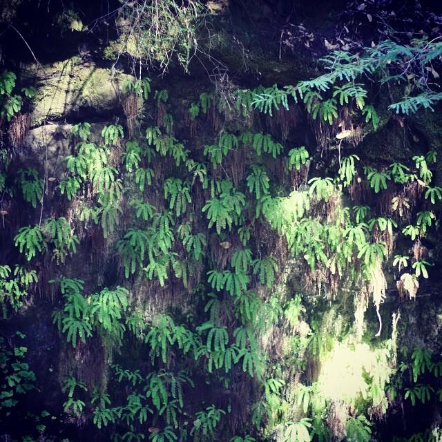 #ferns #bigbasinstatepark #camping #intothewild #adventureswithlauren