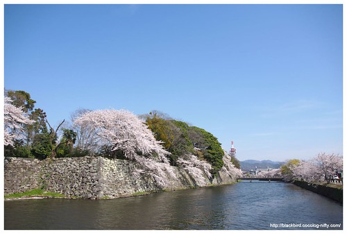 Cherry blossoms & blue sky #04