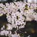 Cherry Blossoms [04.13.14] by Andrew H Wagner | AHWagner Photo