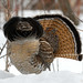 Ruffed Grouse by R. & S. Illingworth