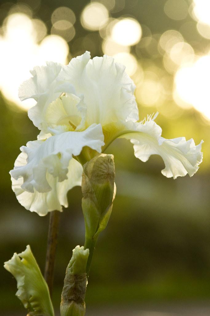 Iris Devonshire Cream Sunny