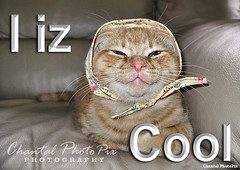 I iz Cool - Ginger Kitten in a Bonnet