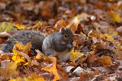 Another Squirrel Searching for Food in the Leaves.