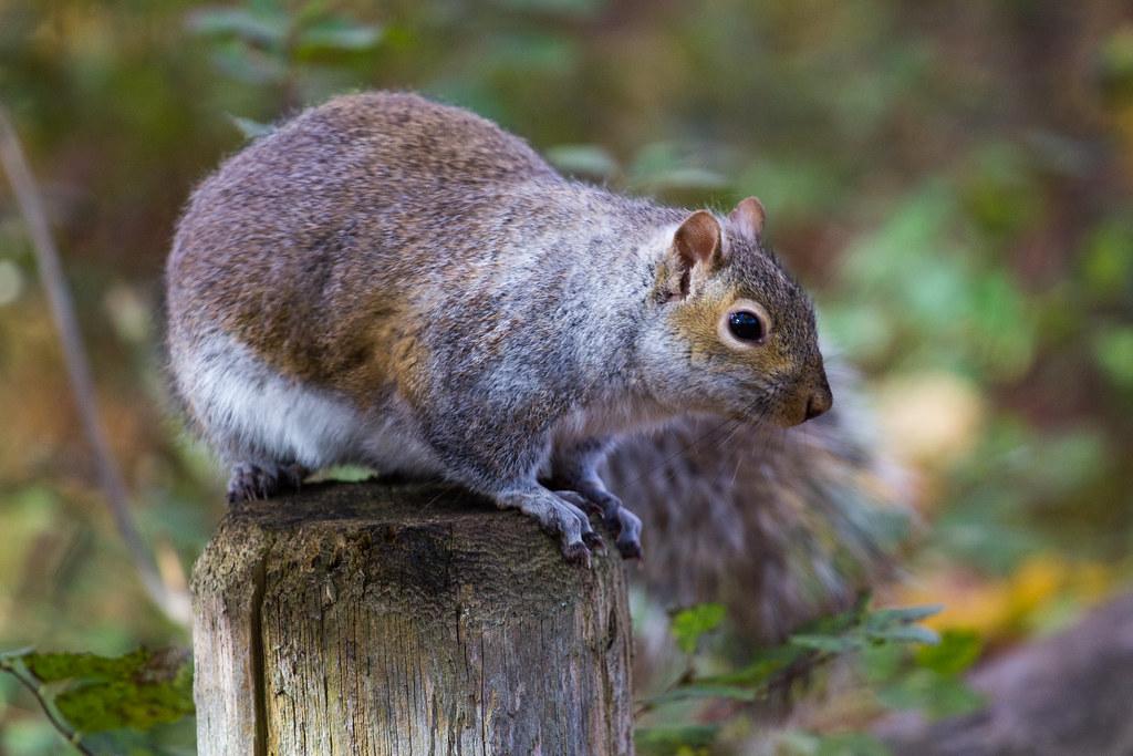 A Torontonian Squirrel