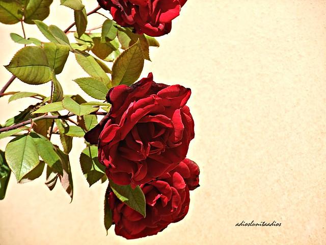 Rosas en el aire. 033, Fujifilm FinePix F200EXR