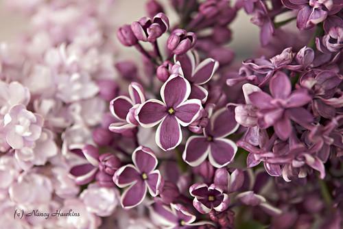 Purple Haze by Nancy Hawkins