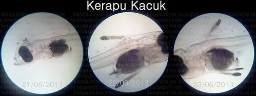 (Mikroskop) Kerapu Kacuk by Kerapu Online