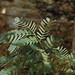 Small photo of Acacia amarilla / Albizia lebbeck