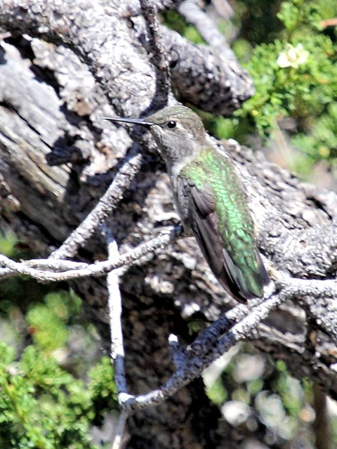 Black-chinned Hummingbird 20130620