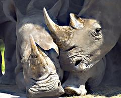 犀牛。圖片作者:Andy,圖片來源:http://www.flickr.com/photos/andy_bernay-roman/155268797。本圖符合CC授權使用。