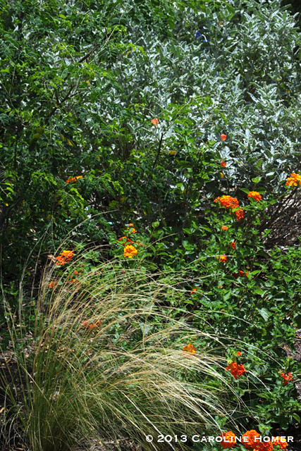 Mexican Bird of Paradise, Mexican feathergrass, Texas lantana, gray globemallow