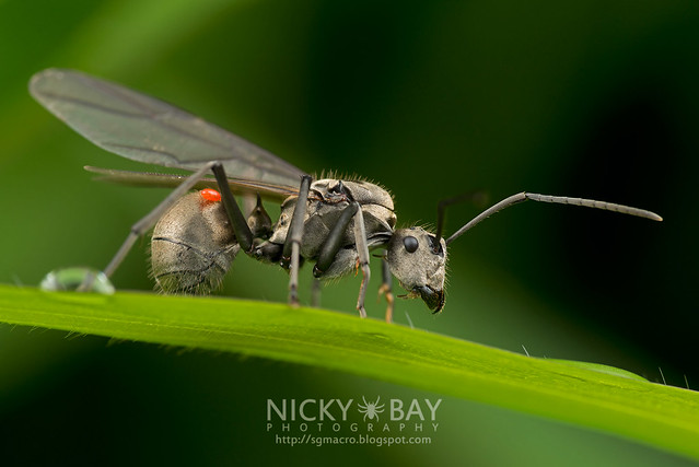 Winged Ant with mite - DSC_3144