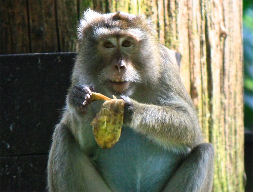 this wise monkey savors his banana