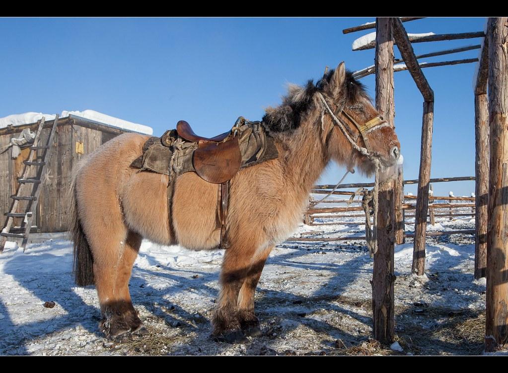 cavalo Yakut