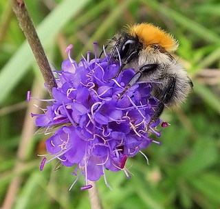 Fuji FinePix HS50EXR.Super Macro Study Of A Carder Bee On A Devil's-bit Scabious Flower.September 14th 2013.