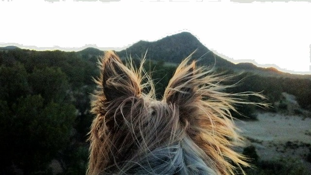 majestic yorkie looking over sunset