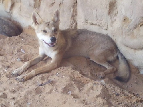 Arabian Wolf (Canis lupus arabs) at Arabia's Wildlife Centre in Sharjah, United Arab Emirates. September 2013. Photo by: Prof. Dr. Norman Ali Khalaf-von Jaffa. by Dr. Norman Ali Bassam Khalaf-von Jaffa