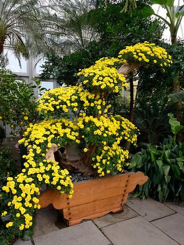 Bonsai Chrysanthemum