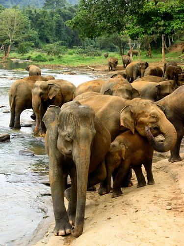 Herd of elephants at Pinnawala (Sri Lanka)