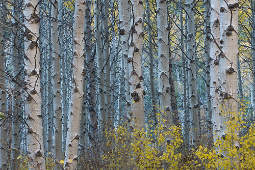 Fall colors in the Eastern Sierra: Aspens at dusk