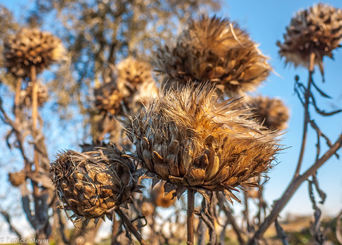 Giant thistles at London Farm