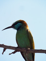Bee eater 1