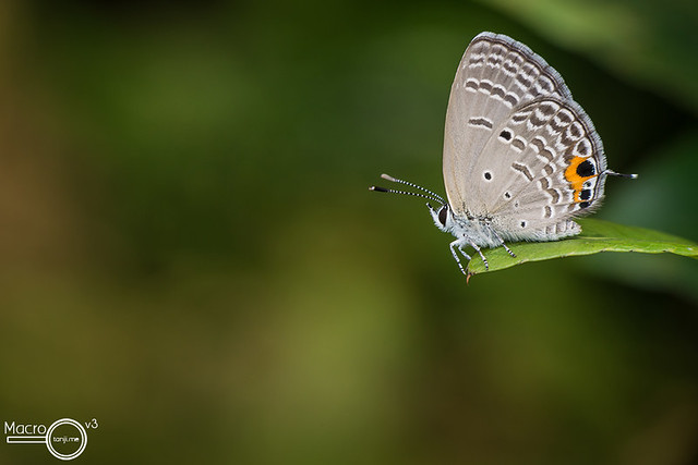 Cycad Blue Butterfly 2 (Chilades pandava)