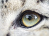 The eye of a snow leopard
