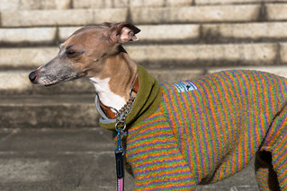 "Italian Greyhound ""Monica"""