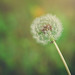 make a wish by Stephanie |Anabelrose Photography|