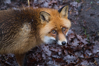Red Fox gaze