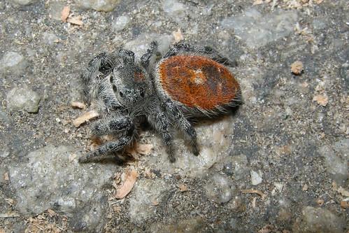 RED BACK SPIDER DSCN0455