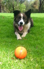 Working Dog with Orange Ball